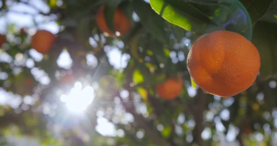 Clementine garden trees | Shutterstock HD Video #1021690600