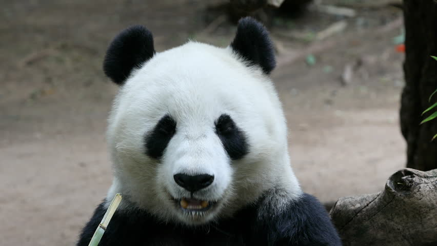 Panda Bear eating bamboo San Diego. The giant panda black and white from mountains of central China. Few survive with only a few dozen outside the country. Bred and captive zoos.