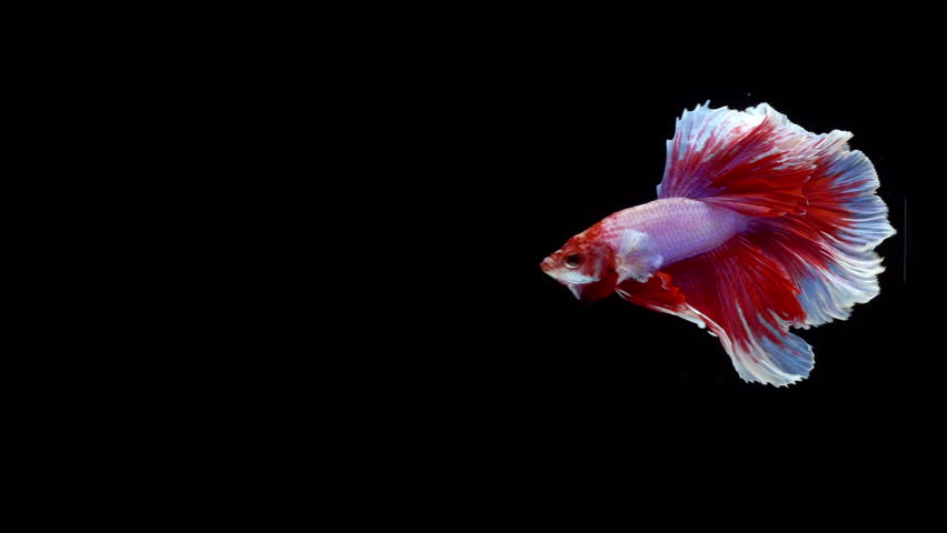 Super slow motion of Siamese fighting fish (Betta splendens), well known name is Plakat Thai, Betta is a species in the gourami family, which is a popular fish in the aquarium trade | Shutterstock HD Video #1021772566