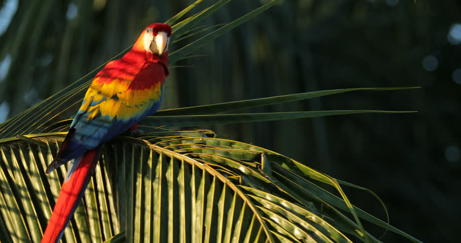 Red parrot Scarlet Macaw, Ara macao, bird sitting on the branch, Costa Rica. Wildlife scene from tropical forest. Beautiful parrot on green tree in nature habitat, evening light. | Shutterstock HD Video #1021775293