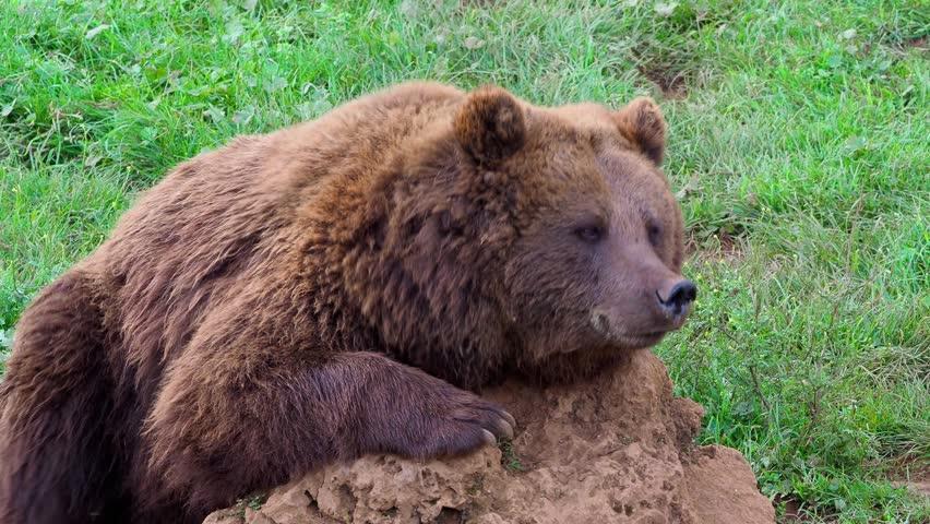 Eurasian brown bear (Ursus arctos arctos), also known as the European brown bear #1021776574