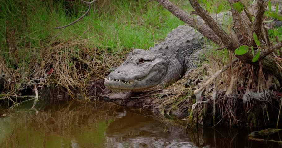 Giant Alligator on the banks of a pond or river rises up and gets ready to attack