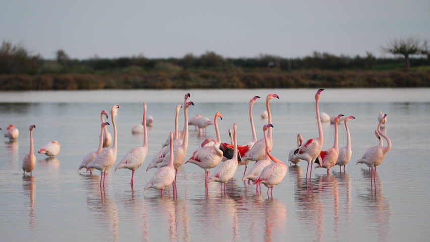 Pink Flamingos showing off their wings during courtship. France Camargue pond