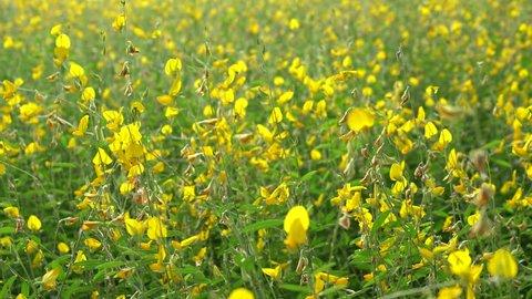 Sunhemp or Crotalaria juncea,yellow flower field blooming on evening sun