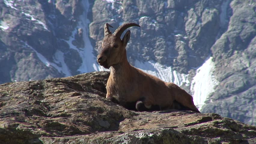 Caucasus. The gorge Bezengi. Mountain goat. | Shutterstock HD Video #1022034973