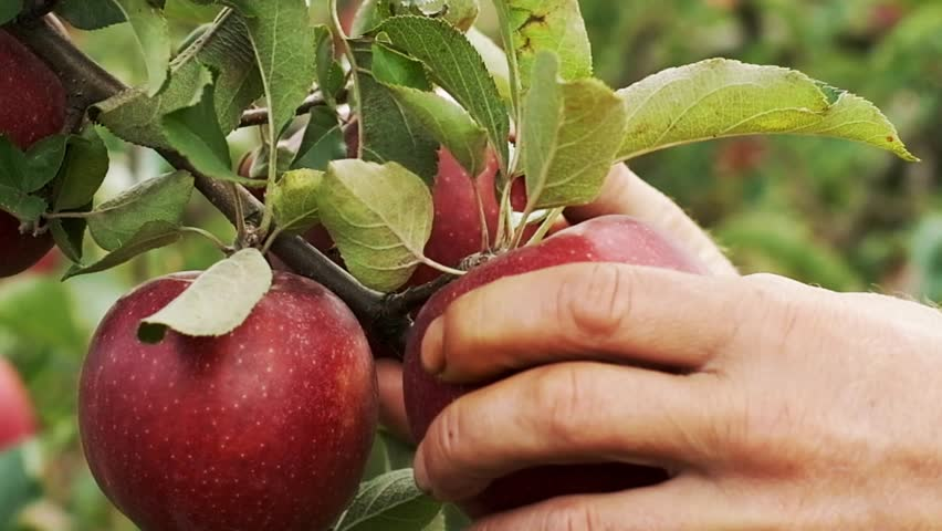 Close-up. Apples Tear From The Branch. Ripe Fruits Grow On The Tree.