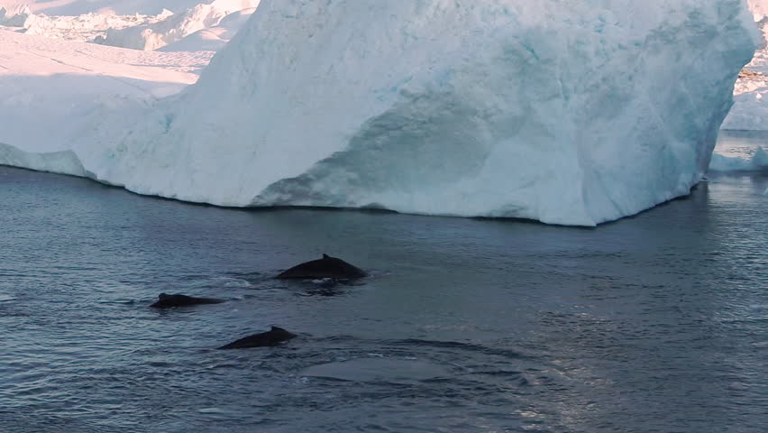 Whales and icebergs in Greenland arctic nature in icefjord landscape. 4 Humpback whales together blowing through blowhole and diving. Aerial video of wildlife, Ilulissat. 59.94 FPS