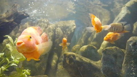 Bunch of Orange Fishes In an Aquarium with Sun Reflections - Front View