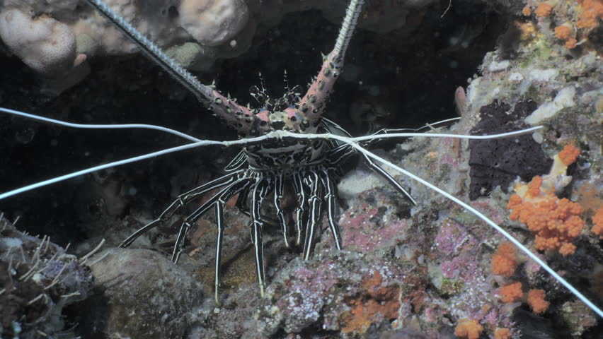 Spiny lobster in coral reef, indonesia | Shutterstock HD Video #1022159179
