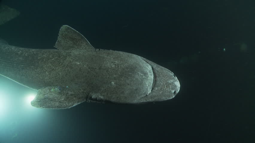 Underwater shot of a Greenland shark swimming in the dark depths of the Arctic Ocean surrounded by divers lighting him Royalty-Free Stock Footage #1022160142