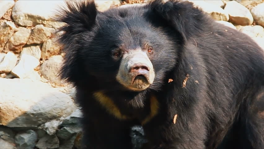 Close up shot of Asian Black Bear or Moon Bear or White Chested Bear