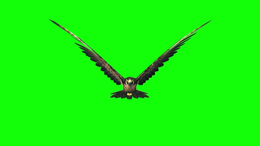 3d render hawk flying loop on green screen ,front view