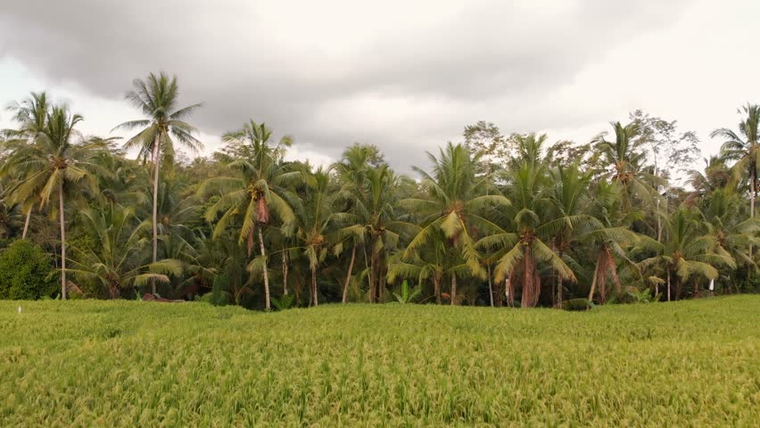 Calming view of lush, green rain forest, palm trees and rice fields
