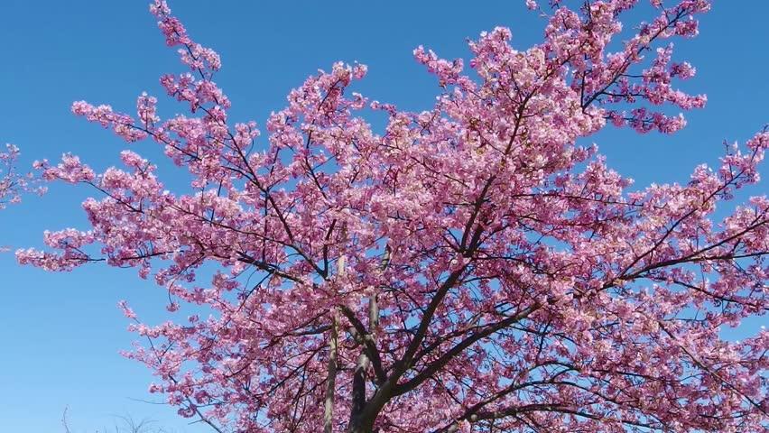 Japanese Pink Cherry Blossom Sakura Tree Moving Along The Wind