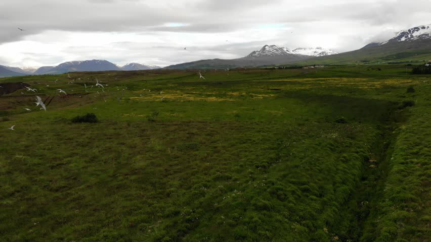 Arctic tern birds flying over meadows with yellow buttercups, snow clad mountain tops in the background, typical landscape of Iceland. Video shot with a dji drone camera.