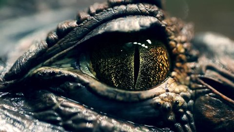 alligator's eye. Close-up of a live alligator's eye. crocodile, caiman. Dinosaur monster