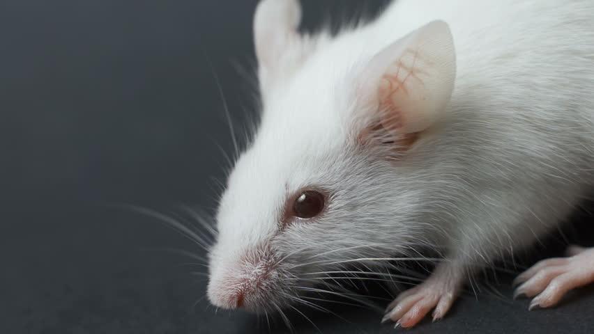 White laboratory mouse on black background closeup.