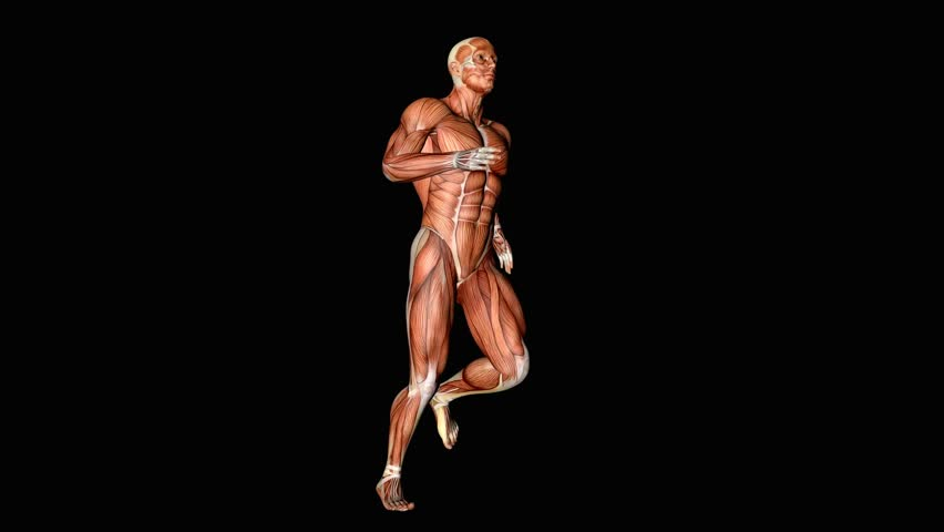 Jogging Anatomy Muscles Tendons 3D Animation