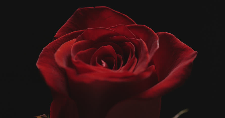 Close-up of single Rose on black background with beautiful lighting effect.  | Shutterstock HD Video #1022455888