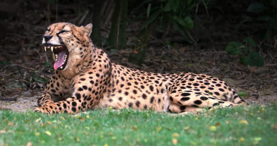 Slow motion video of yawning cheetah. Beautiful big cat displays fangs and teeth   Shutterstock HD Video #1022510803