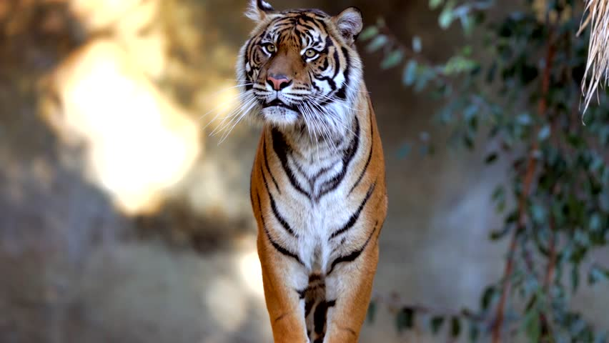 This epic video shows a wild tiger walking forward towards the camera and jumping.