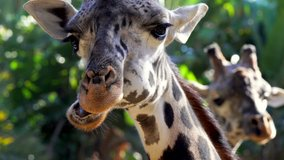 This close up zooming video shows majestic wild masai giraffes chewing and eating greenery as they are looking directly at the camera.