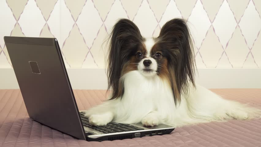 Papillon dog is lying near the laptop on the bed stock footage video | Shutterstock HD Video #1022527120