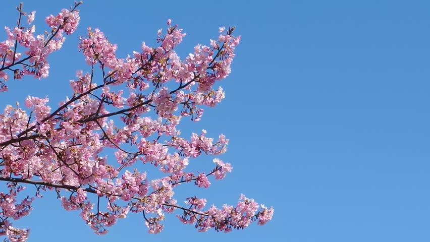 Japanese pink cherry blossom sakura tree moving along the wind on spring season. | Shutterstock HD Video #1022559952