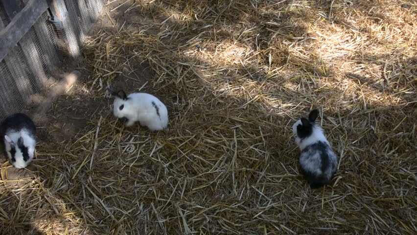 Many black and white rabbits play on the farm. Animals eat food. Agriculture.  | Shutterstock HD Video #1022575756