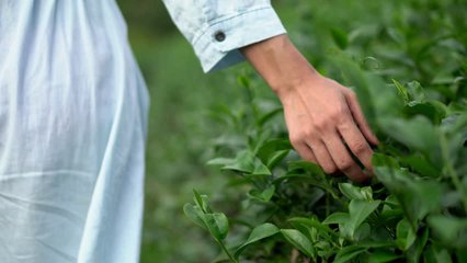 4k Rear view of young Asian woman body in blue dress walking on the tea plantation farm field in summer. Woman hand touching and stroking green tea tree plant leaves under sunlight in fresh morning.