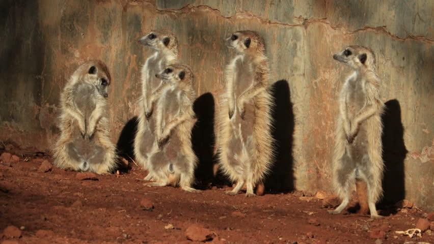Meerkat (Suricata suricatta) family basking in the sun, South Africa Royalty-Free Stock Footage #1022651281