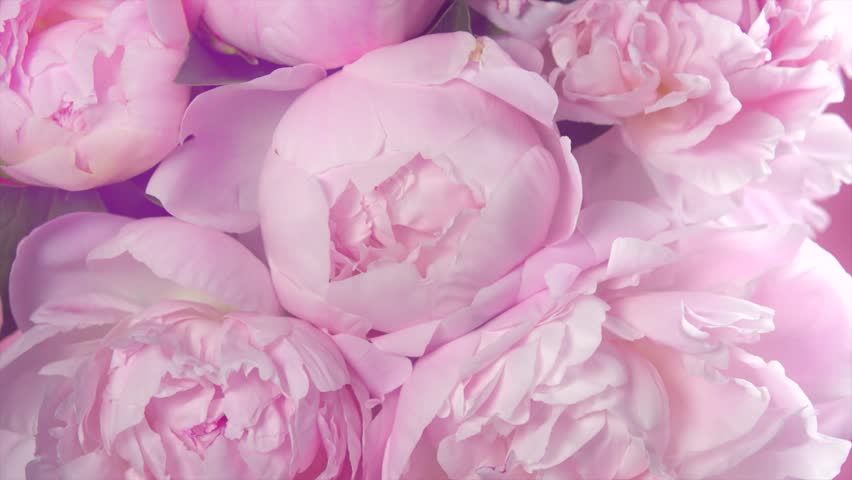 Beautiful pink roses bouquet background. Blooming peony flowers open, time lapse, close-up. Wedding backdrop, Valentine's Day concept. Blossom, flower closeup. 4K UHD video timelapse, time lapse