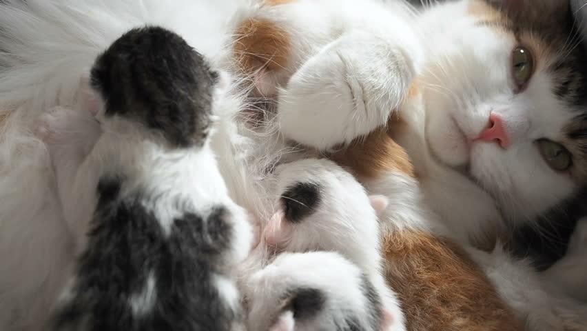 Breastfeeding Kittens. Cute Cat Family. Mom Cat Gives Milk Feeding and Takes Care of Her Cute Kitten. Mother Cat Having Many Children Feeding Her Little Cute Kittens. Little Kittens Suck a Tit Breast | Shutterstock HD Video #1022732578