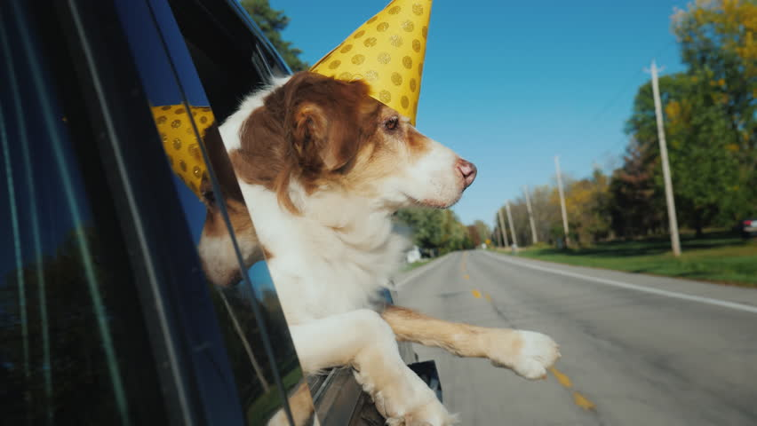 The dog in a festive paper cap looks out of the window of the car. Party with pets   Shutterstock HD Video #1022734051