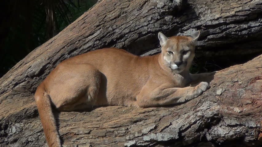 A Cougar (Puma concolor) rests  on a large tree trunk, looking attentively in all directions.