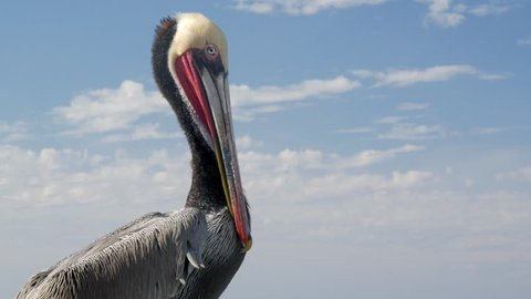 Close Up of Pelican Sitting in Front of Blue Cloudy Sky