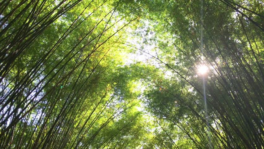 Bamboos Forest. Growing bamboo in thailand garden 4K UHD | Shutterstock HD Video #1022793244