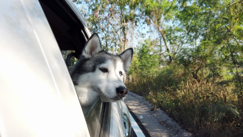 4k Video footage of siberian husky dog sitting in moving car and sticking her head out from the window of automobile and looking to beautiful nature at countryside under sunlight. #1022962888