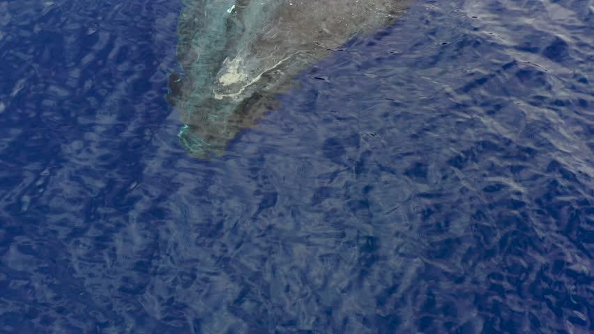 Humpback Whales off the Maui Coast