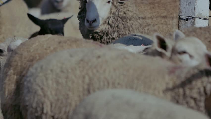 Sheep on field farm  | Shutterstock HD Video #1022989192