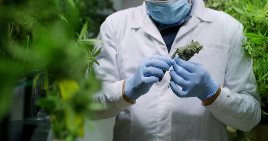 Slow motion of scientist with mask, glasses and gloves checking hemp plants in a greenhouse. Shot in 8K. Concept of herbal alternative medicine, cbd oil, pharmaceptical industry
