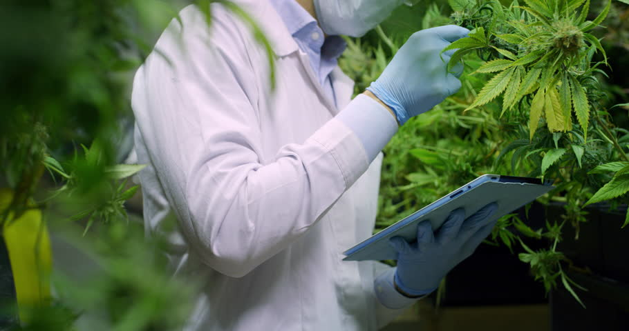 Slow motion of scientist checking and  analizing hemp plants,signing the results with laptop in a greenhouse. Shot in 8K. Concept of herbal alternative medicine, cbd oil, pharmaceutical industry