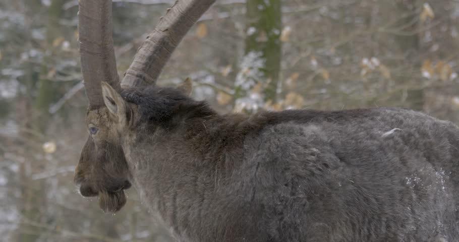 Alpine ibex close up walking away in winter, 10bit HLG   Shutterstock HD Video #1023145285