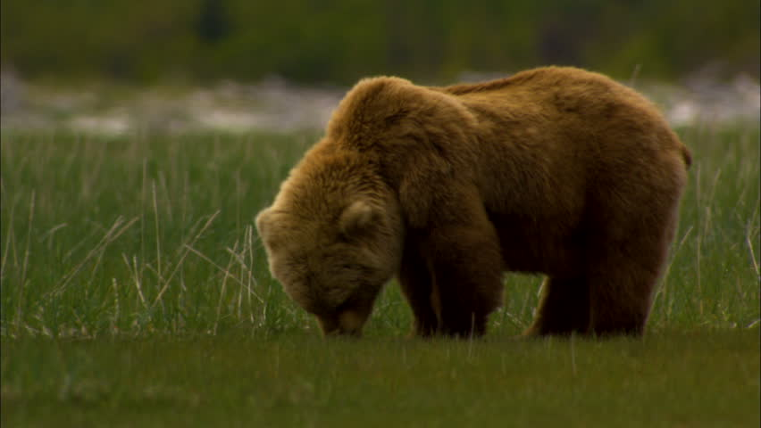 Powerful large brown bear eating vegetation in the grasslands in remote mountain wilderness Katmai National Park and Reserve Alaska America #1023230332