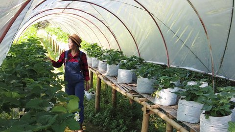 4K Rear view of Happy beautiful Asian woman walking through organic strawberry plant fruit in greenhouse garden to caring for young strawberry plant. Agriculture care and healthy food concept.