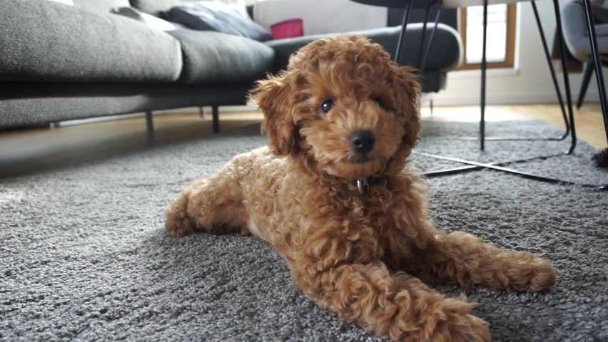 Red Poodle Puppy Resting On Stock