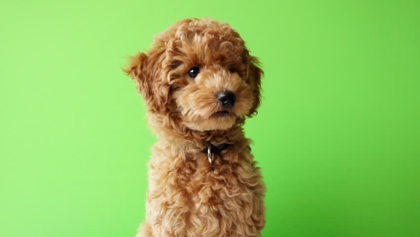 Red Poodle Puppy Close Up With Green Screen Background, Chromakey Background, Dog Green Screen Background looking left right up down