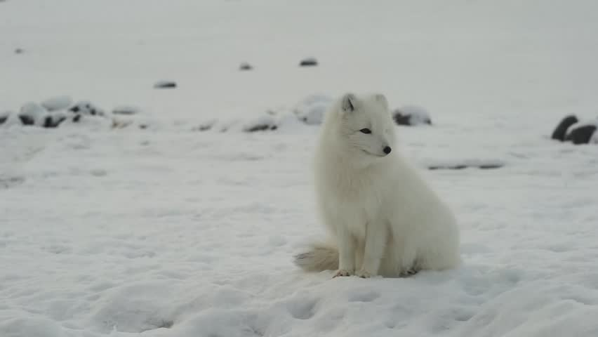 Sitting white arctic fox