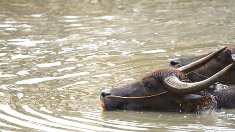 panning shot of water buffalo is playing and swimming in the pond