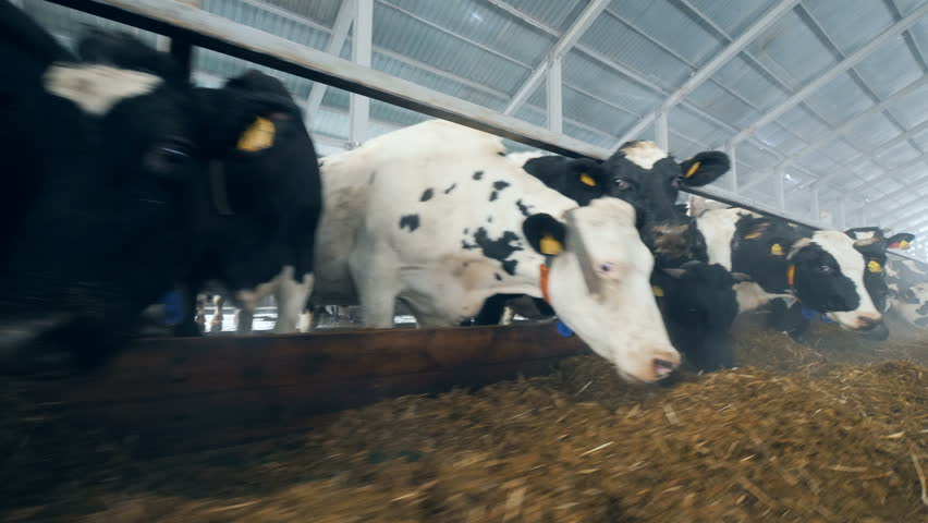 A lot of cows are eating fodder in the cowhouse